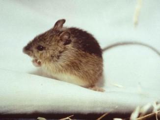 prebles-meadow-jumping-mouse-endengered-mammal-species-zapus-hudsonius-preblei-725x469
