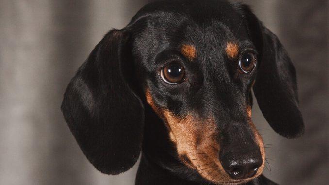 Vaccin du chien teckel